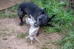 Санитарная обработка от крыс в Москве