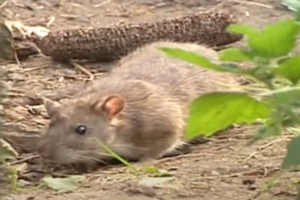 Комплексные меры по уничтожению грызунов в Москве недорого