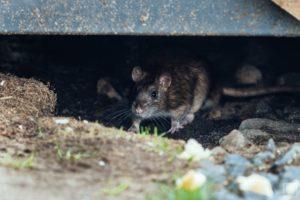 Уничтожение вредных грызунов в Москве дешево