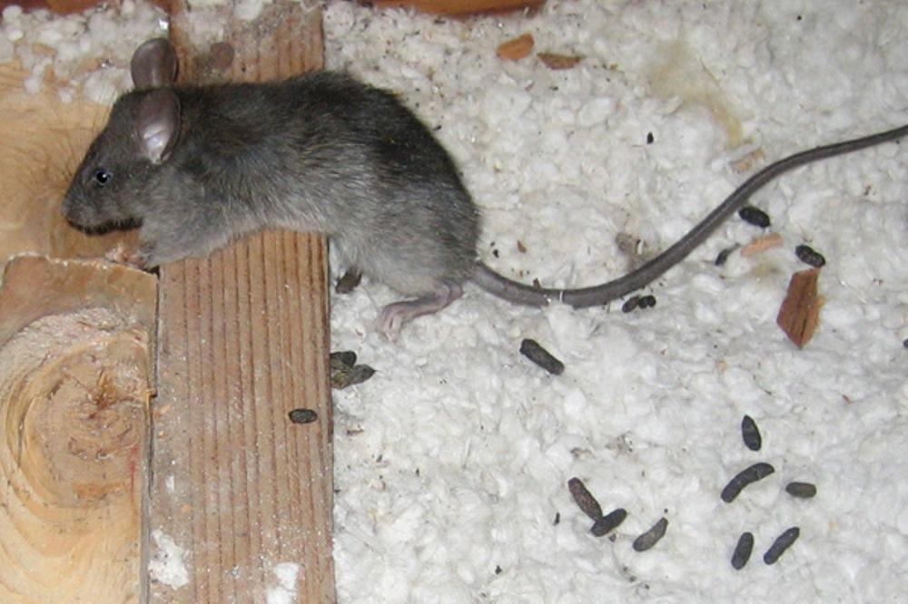 Профессиональные Мероприятия по уничтожению грызунов в Москве