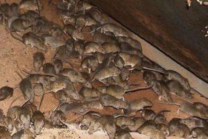 Уничтожение вредных грызунов в Москве