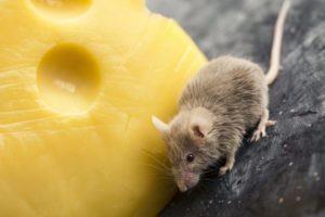 Уничтожение вредных грызунов в Москве недорого