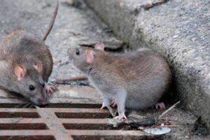 Обработка от крыс и мышей в Москве