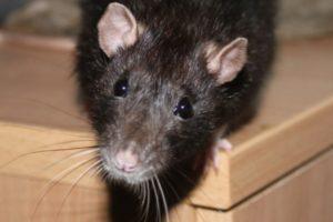 Профессиональная обработка от крыс и мышей недорого